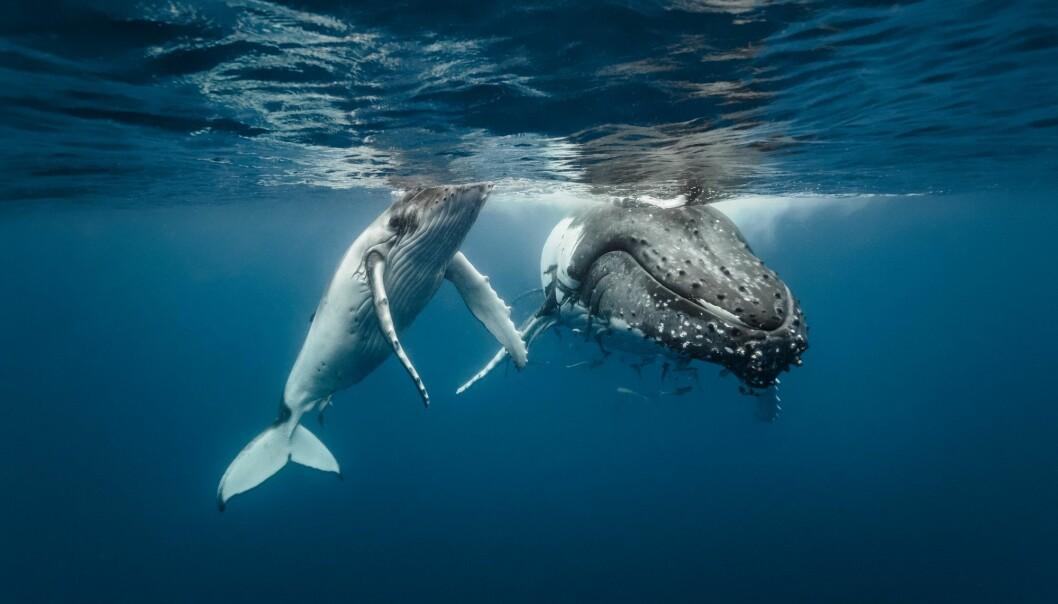 En mamma og en unge svømmer sammen. (Foto: Michael Smith ITWP / Shutterstock / NTB scanpix)