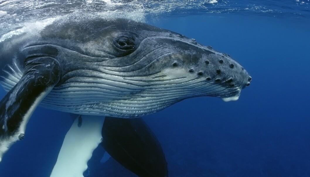 Knølhvaler har vorter. Dette er en ung knølhval. (Foto: Yann hubert / Shutterstock / NTB scanpix)