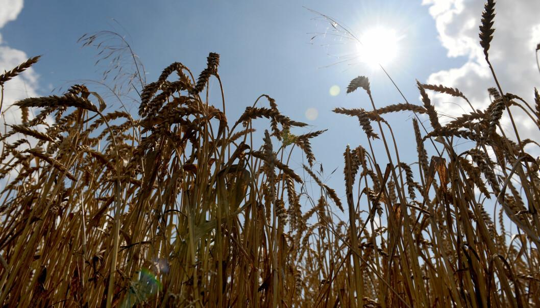 Hveteavlingene vil synke med seks prosent for hver grad temperaturen stiger, ifølge ny rapport. (Foto: Frank May, NTB scanpix)