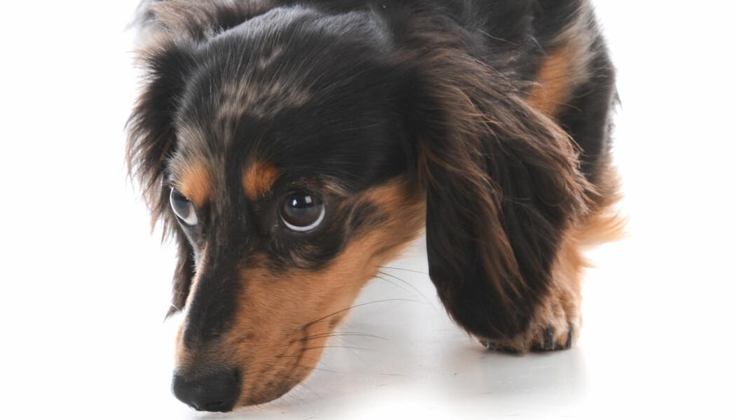 Hunder har en svært følsom luktesans. Kanskje kan vi bruke den mot malaria. (Foto: WilleeCole Photography / NTB scanpix)