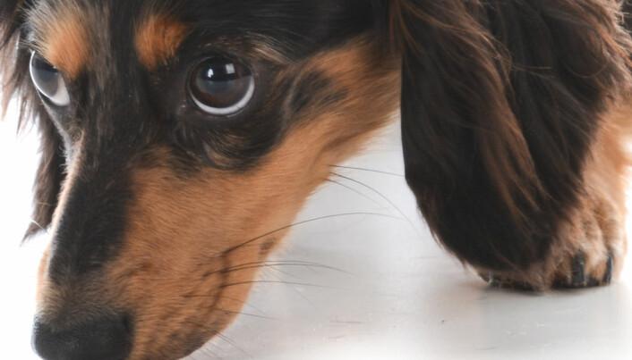 Hunder kan lukte om folk har malaria