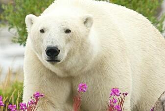 Kan isbjørnen klare seg uten isen?