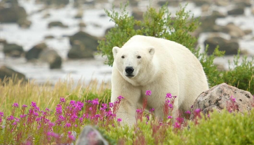 En isbjørn i bukta Hudsonbukta i Canada. Det er mye annet å spise her enn sel, mener forskere. Men vil isbjørnen forandre på matvanene? (Foto: chbaum / Shutterstock / NTB scanpix