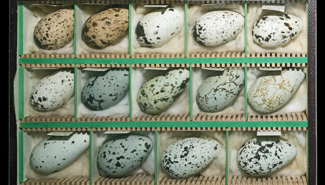 Lomvi-egg viser en tydelig pigmentering. (Bilde: Didier Descouens/CC BY-SA 4.0)