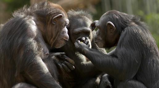 Sjimpanser lærte stein-saks-papir