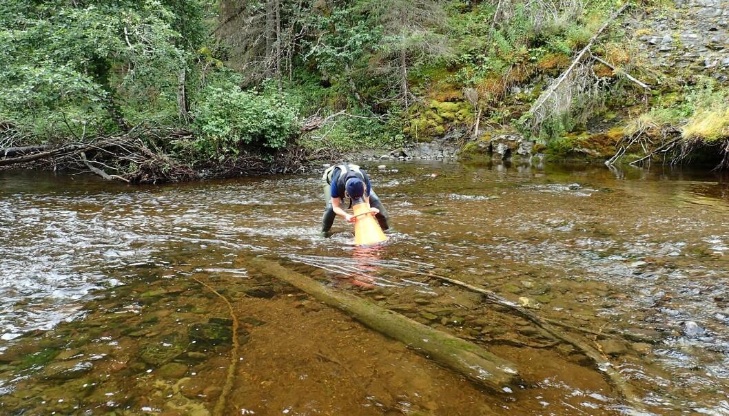 Då forskarar skulle kartleggje vasskvaliteten i «reint og urørt» norsk vant, fann dei nesten ingen elver som hadde god økologisk kvalitet. (Foto: NIVA)