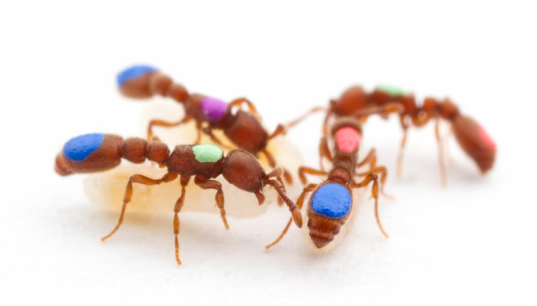Mutant-maurene av arten <i>Ooceraea biroi</i> fikk hver sin farge, slik at forskerne skulle kunne spore hvordan de klarte seg i kolonien. (Foto: Daniel Kronauer / The Rockefeller University)