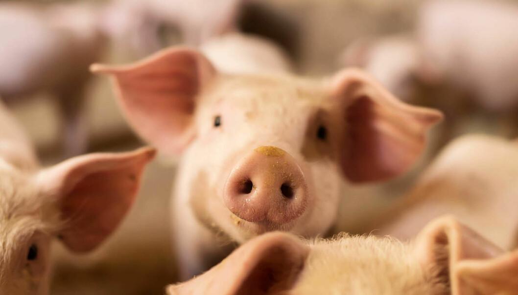 Vil det bli mulig å bruke organer fra griser til transplantasjoner for mennesker? Etter at forskere har klart å ødelegge virus-DNA i grisene, er muligheten et skritt nærmere.  (Illustrasjonsfoto: Dusan Petkovic / Shutterstock / NTB scanpix)