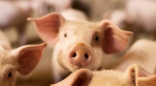 Et skritt nærmere transplantasjon av griseorganer