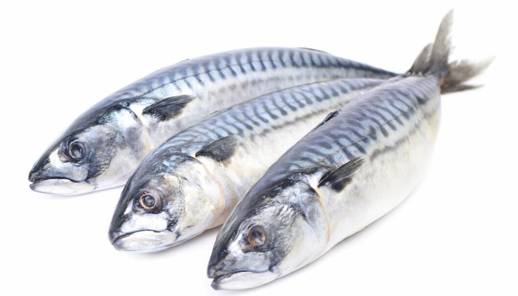 Makrellen er lett å kjenne igjen på sin runde, strømlinjeformede og silkemyke kropp. Dette er en fisk mange har meninger om. Men makrellens omflakkende livsstil har fram til nylig gjort det vanskelig å finne ut mer om fisken. (Foto: Julia_Lelija / Shutterstock / NTB scanpix)