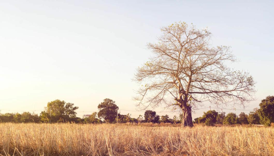 Både tørst og sult kan være årsak til at trær dør under tørkeperioder.  (Illustrasjonsfoto: MooNoi_Amphol / Shutterstock / NTB scanpix)