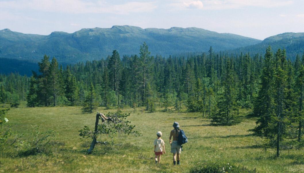 Det er stor forskjell på skogene i Norge. Noen har trær som er like store, mens andre inneholder både lave og høye. Dette påvirker planter og dyr i skogen.  (Foto: John Yngvar Larsson)