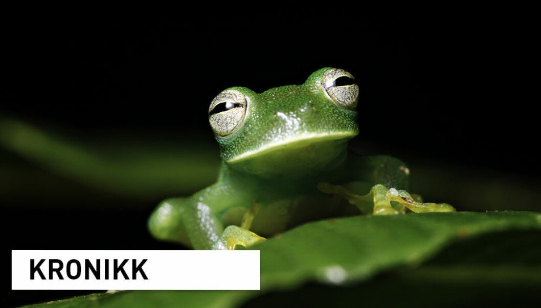 Den utrydningstruede glassfrosken er bare en av mange hundre tusen arter som lever i regnskogen i Amazonas. Arbeidet med å kartlegge arvestoffet til disse, og resten av verdens arter, er ekstremt ressurskrevende. (Foto: Dirk Ercken / Shutterstock / NTB scanpix)
