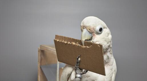 Kakadue lager verktøy av papp for å lure til seg en matbit