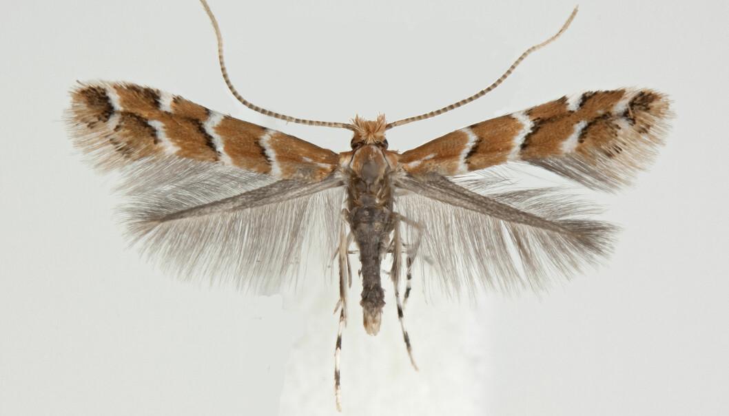 Denne sommerfuglen er ganske ny i Norge, og kommer helt fra Balkan. Hestekastanjemøllen ble observert i Oslo første gang i 2013.  (Foto: Leif Aarvik, Naturhistorisk museum, UiO)