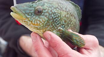 Spør en forsker: Hvorfor er leppefisken så populær?