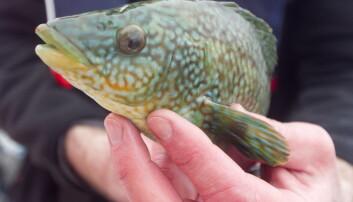 Leppefisk er et viktig biologisk virkemiddel mot bekjempelse av lakselus. Men nå er forskere bekymret for den. Denne leppefisken hører til på Sjøtrolls lakseoppdrettsanlegg Skjerholmen på Buarøy sør for Flesland. (Foto: Heiko Junge/NTB Scanpix)