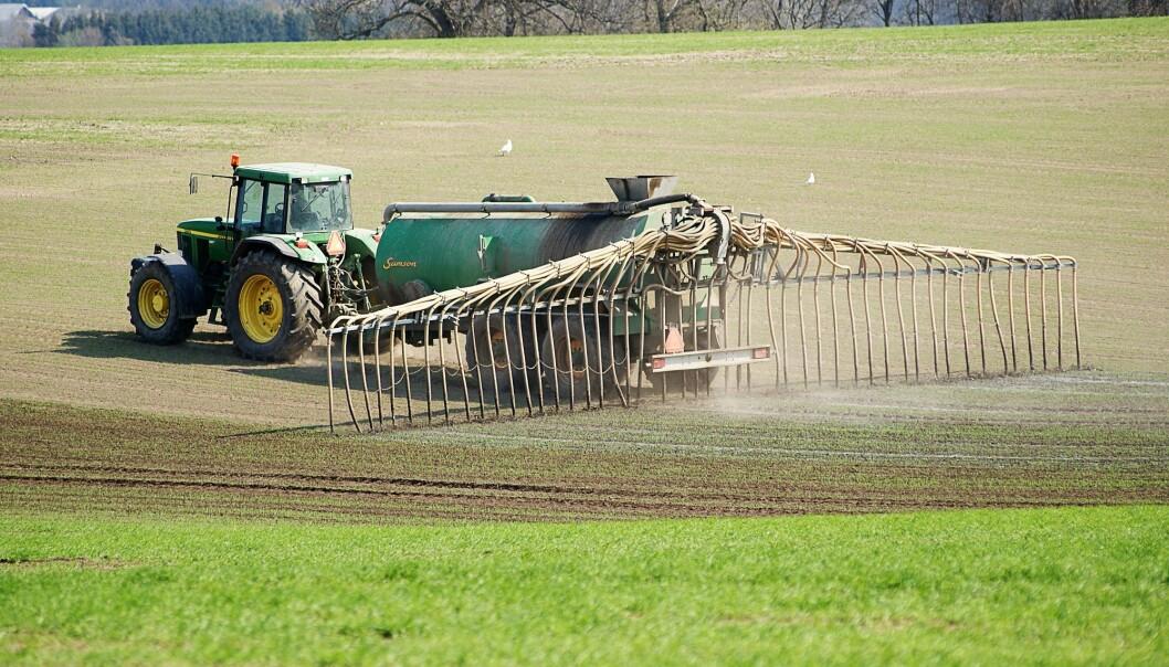 Når bonden gjødsler åkeren med møkk fra husdyr, forsvinner noe av nitrogenet fra gjødsla ut i lufta. Da forsvinner viktig næring som kunne gått til plantene. Hvordan kan vi unngå det? (Illustrasjonsfoto: Colourbox)