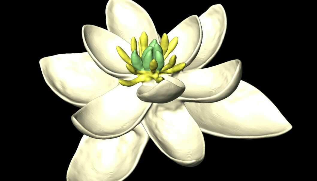 Den aller første blomstertypen på jorda hadde trolig tre sett blader og var tvekjønnet. Det gule i midten av blomsten er støvbærerne, hankjønn, mens det grønne er fruktemnene, altså hunkjønnet. Farge og utseende på blomsten er slik forskerne forestiller seg at den kan ha sett ut. (Illustrasjon: Hervé Sauquet og Jürg Schönenberger)