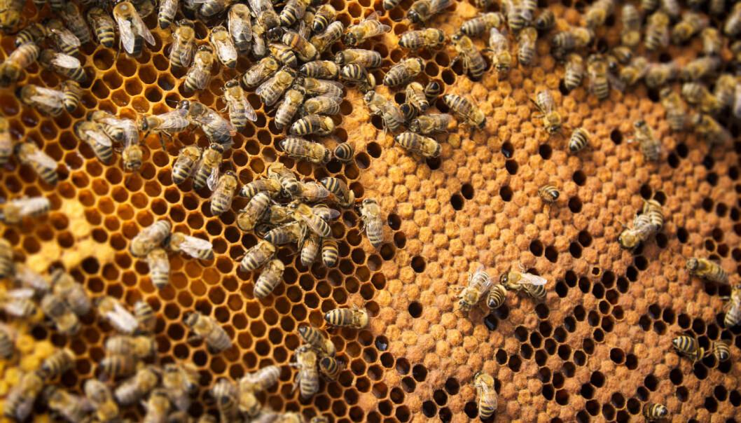 Fant samme gener hos mennesker med autisme og antisosiale bier