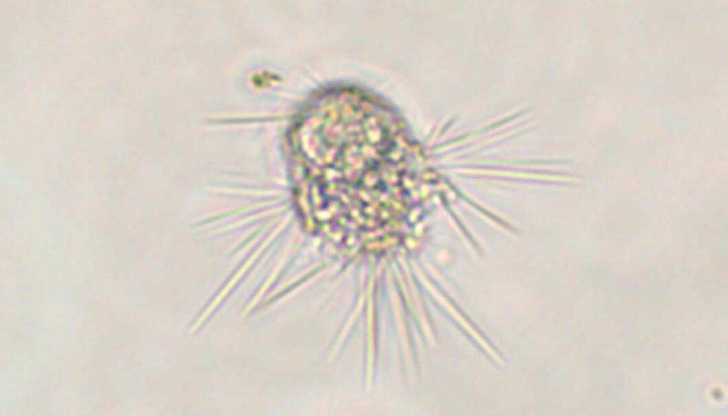 Etter timevis med øyet mot mikroskopet fant forsker Anders K. Krabberød dette eksemplaret av Sticholonche, en encellet skapning som lever i havet. Nettopp dette ene individet hjalp forskerne med å løse en 150 år gammel gåte innen biologien.  (Foto: Anders K. Krabberød)