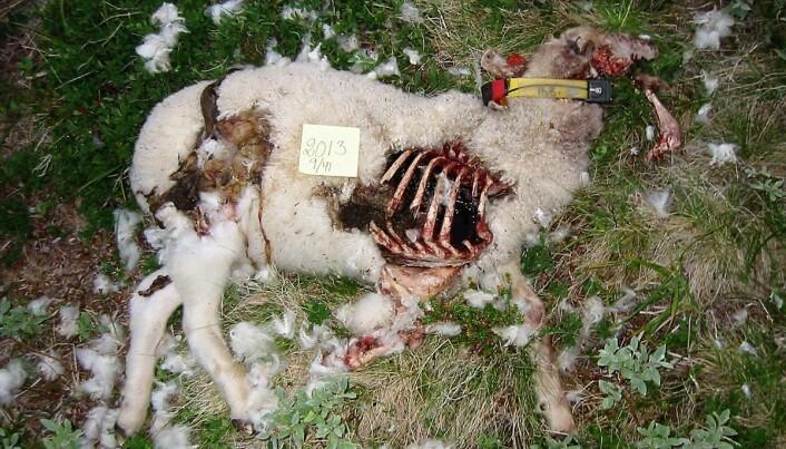 Hvordan kan bønder best beskytte sauene mot rovdyr? (Foto: Inger Hansen)
