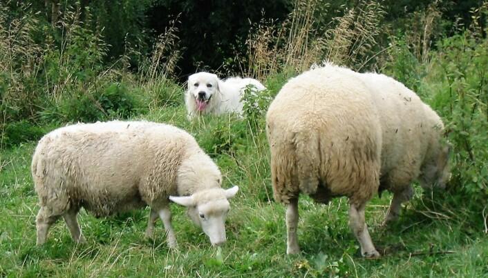 Vokterhundene ligner på sauene og vokser opp som en del av flokken. (Foto: Inger Hansen)