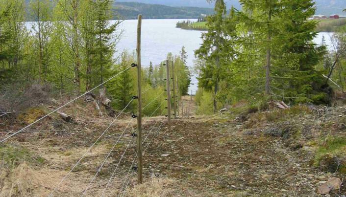Strømgjerder kan beskytte sauen mot rovdyr. Gjerdene kan også tilpasses etter ulike rovdyr. (Foto: Inger Hansen)