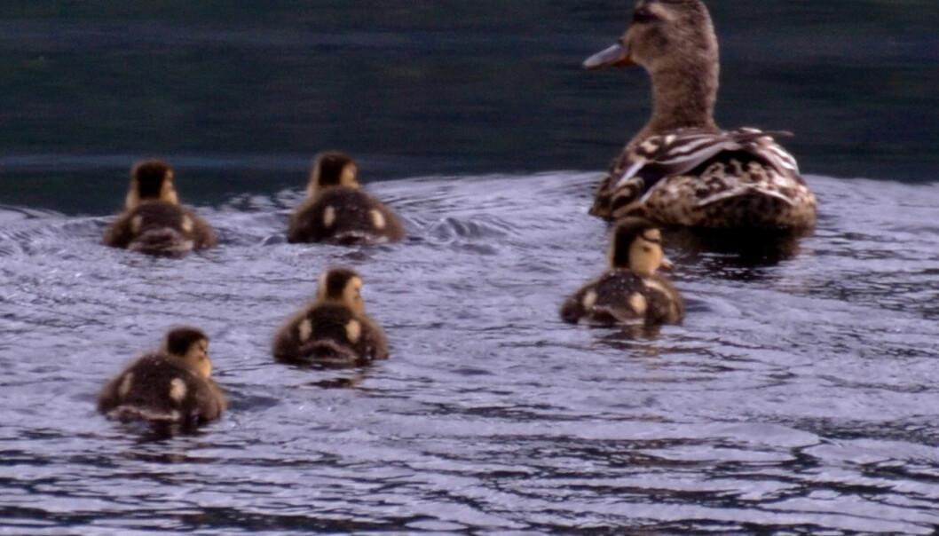 Stokkandmora flytter seg og ungene rundt for ikke å bli tatt av rovdyr og store fugler.  (Foto: Carol E. Petersen)