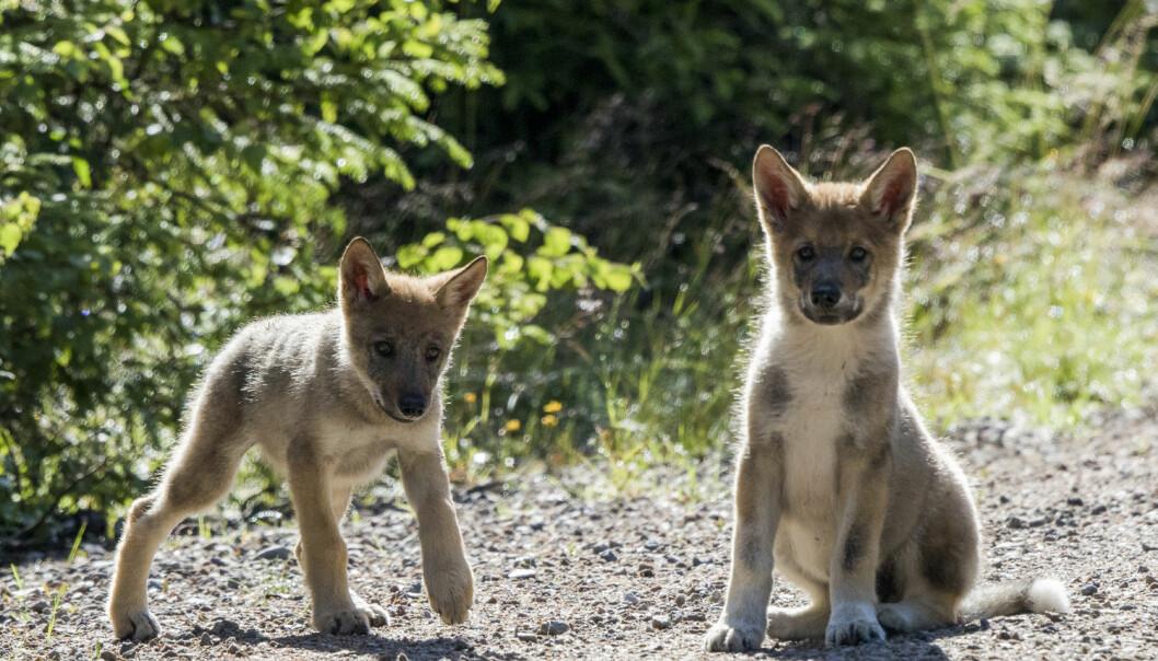 To av de tre ulvevalpene som ble observert i Elverum kommune 17. juli.  (Foto: Terje Håheim / NTB scanpix)
