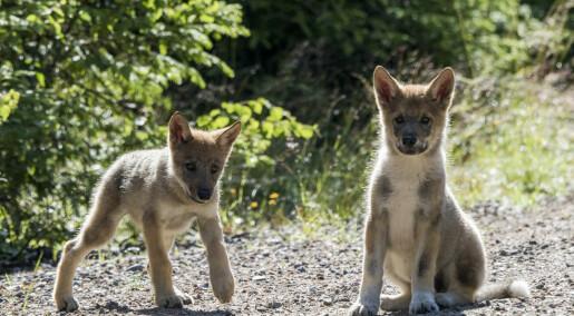 Nytt ulvekull observert i Elverum
