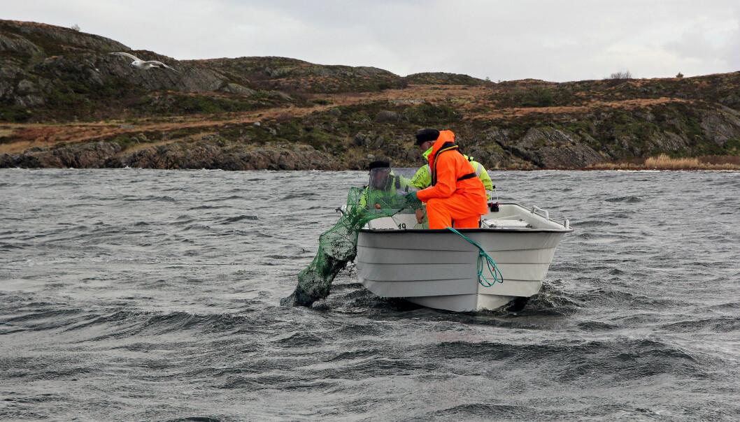 Sånn ser en ruse ut. Forskerne har satt ut 30 rusesett i sjøen. (Foto: Anders Jakbosen/Havforskningsinstituttet)