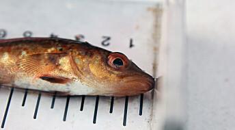 Påvirkes torsken av å vokse opp nær oppdrettsanlegg?