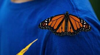 Dramatisk nedgang i antall Monark-sommerfugler
