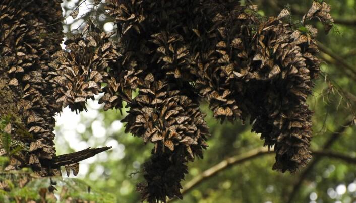 Om vinteren trekker monarkene til et av to kjente overvintringssteder, Michoacán i Mexico eller California. Begge overvintringsområdene er ganske små, bare noen hundredels kvadratkilometer, eller hektar store. Her sitter sommerfuglene tett i tett i bartrær til det er vår igjen. (Foto: Kristen Grace/Florida Museum).