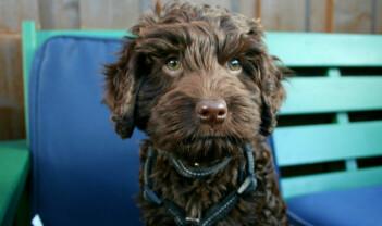 En labradoodle er en dyr blandingshund: en oppklaring