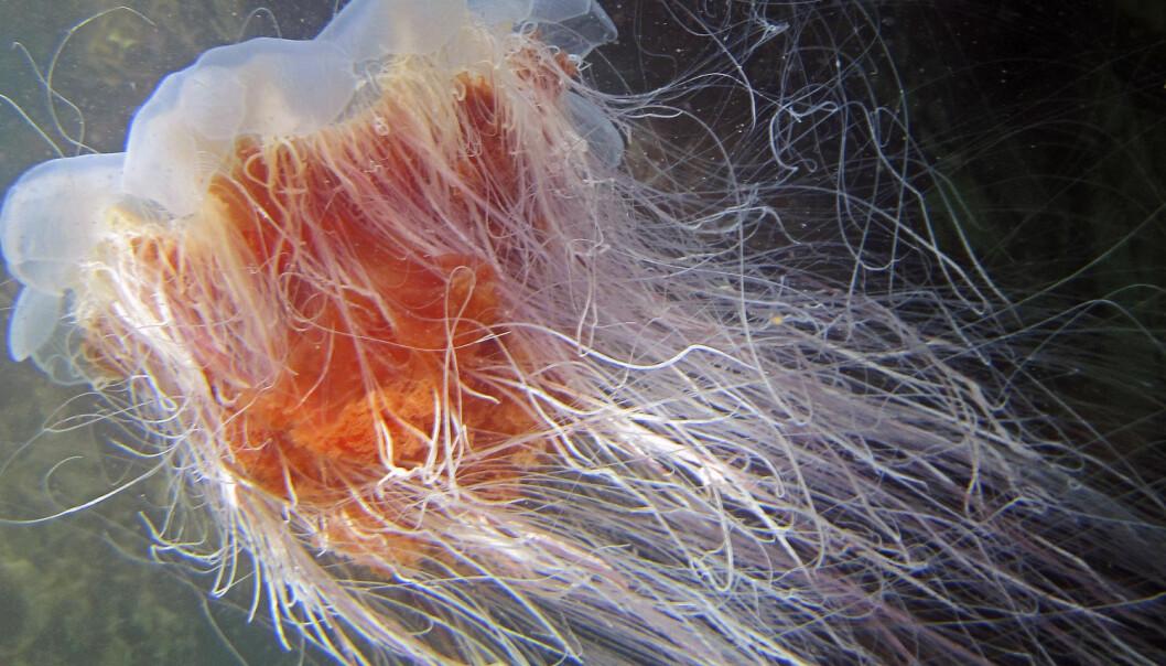 Den store, røde brennmaneten Cyanea capillata herjer langs norskekysten. Men hvem er den egentlig? (Foto: Tor Andre Johannessen/NTB scanpix)