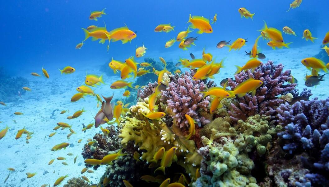Ein ny studie viser at korallrevfisk blir påvirka av oljeforureining.  (Illustrasjonsfoto: Colourbox)