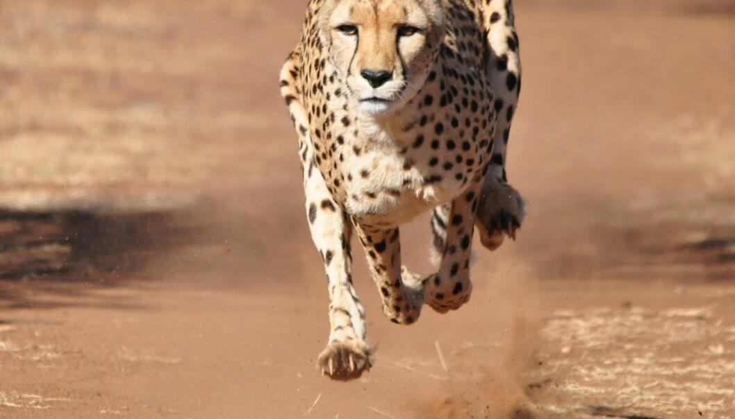 Mellomstore dyr som geparden er de raskeste i verden fordi musklene deres ikke går tom for energi når de skal akselerere, viser ny forskning. Når dyr blir større enn geparden og ulven, må de bruke mer tid på å akselerere, og det har ikke musklene nok energi til.  (Foto: Marcel Brekelmans / Shutterstock / NTB scanpix)