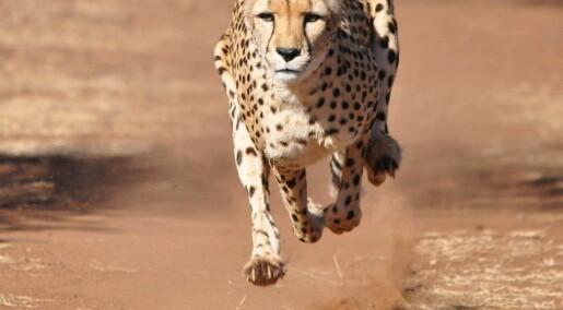 Derfor er geparden verdens raskeste landdyr