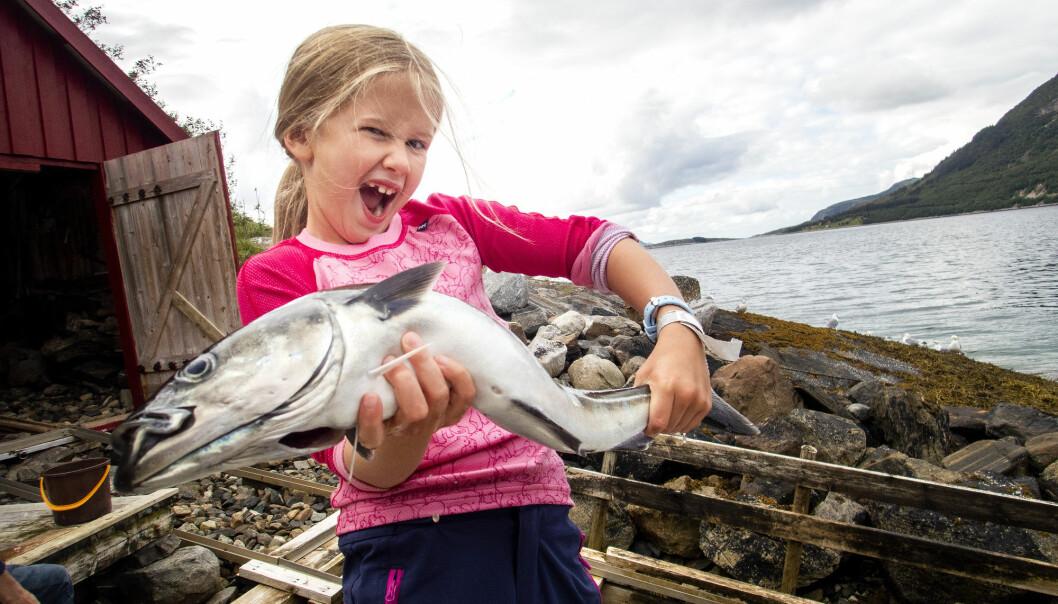 Ei glad jente med en nyfanget sei. Noen steder langs kysten er det ekstra mye fisk og annet liv. Nå har forskere i Trondheim funnet forklaringen. (Foto: Gorm Kallestad / NTB scanpix)
