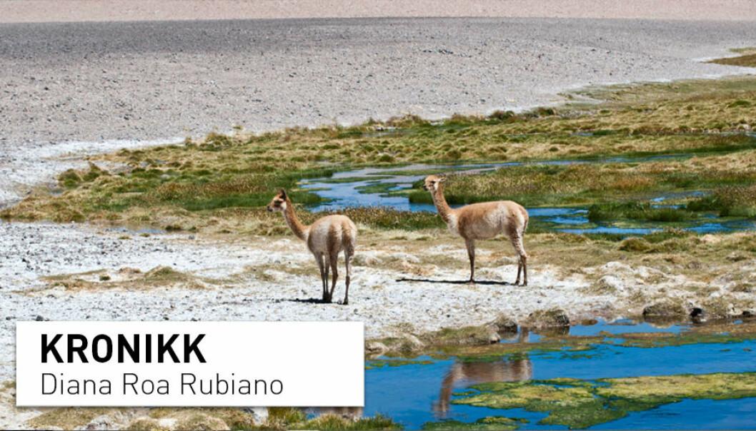 Vicuñaene er den ville forløperen til alpakkaen. De bor på saltslettene i Sør-Amerika, der vannmangel på grunn av litiumutvinning påvirker dyr og planter. (Foto: Colourbox)