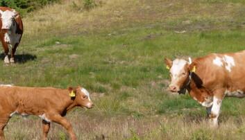 Beitende Dagros forsvinner fra utmarka:– Kjøttfe kan overta for melkekua
