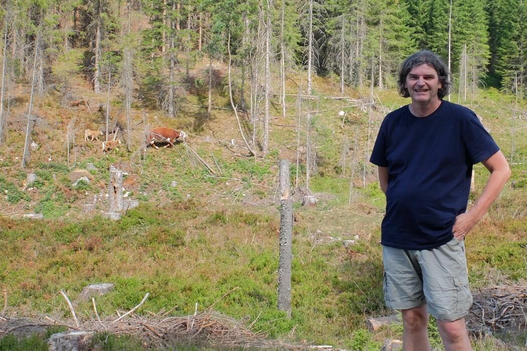 Morten Tofastrud er ute i skogen for å sjekke hvordan det står til med kuene han har forsket på i tre somre. (Foto: Eivind Torgersen)