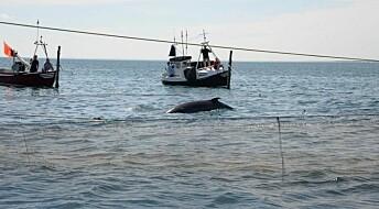 Forskere setter GPS på hval i Skagen