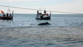 En 4,6 meter stor vågehval ble nylig fanget i et bunngarn i Skagen. Forskere har nå festet måleutstyr på hvalen, slik at de kan følge hvor den svømmer.  (Foto: Line A. Kyhn/Aarhus Universitet)