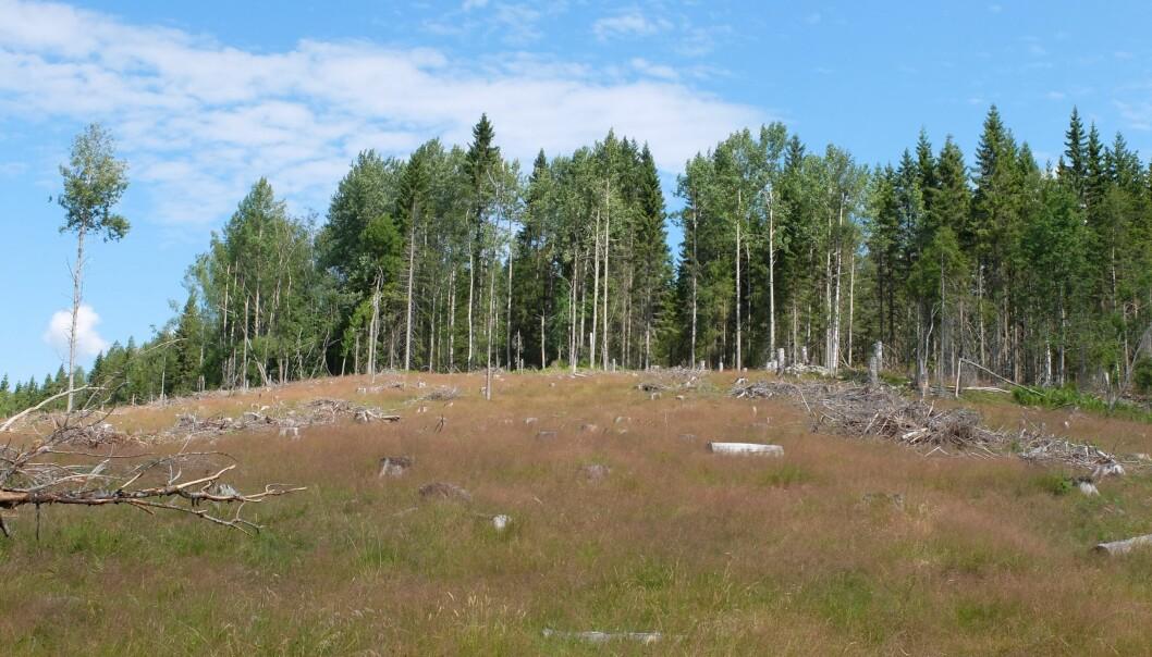I slike hogstfelt finner kuene bra med gress. Men nyutsatte granplanter kan måtte lide. (Foto: Eivind Torgersen)