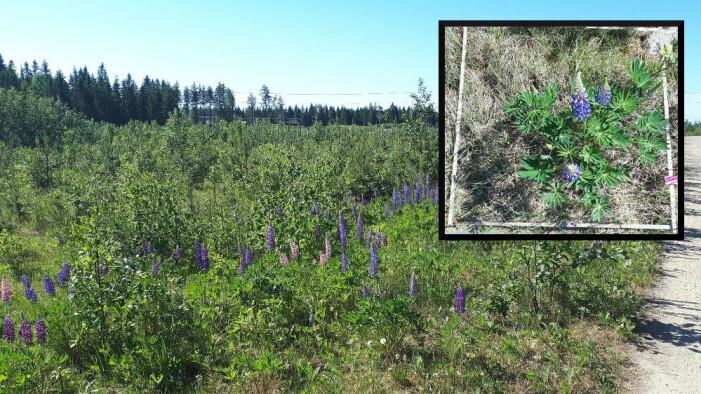 Hagelupin (Lupinus polyphyllus) sprer seg gjerne fra hager og langs veg, og er ført på fremmedartslista i Norge som SE = svært høy risiko. Det betyr, at den har et høyt invasjonspotensial og negativt økologisk påvirkning på fortrenging av stedegne arter. (foto: privat)