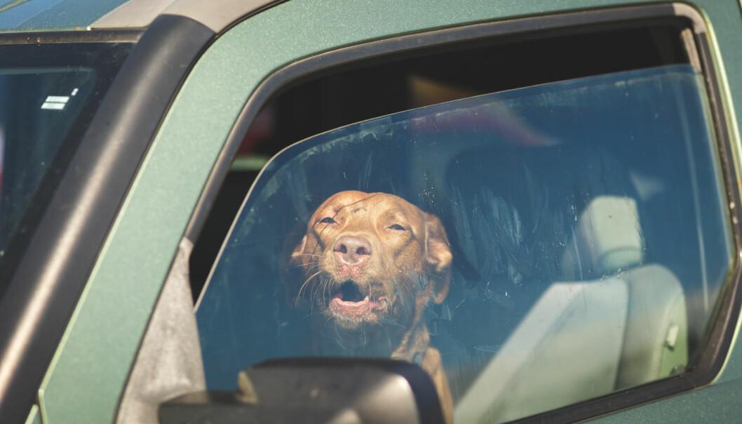 De fleste forstår at hunden ikke kan vente i en lukket bil på varme dager. Hvis den blir for varm, vil det nemlig skje flere ting i hundens kropp som er svært alvorlige. (Foto: Shutterstock / NTB scanpix)