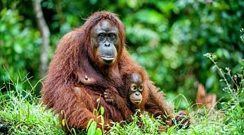 Orangutanger ser ut til å kunne «fortelle» om noe som har skjedd i fortiden